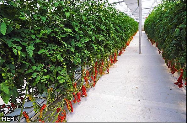 گلخانه گوجه فرنگی