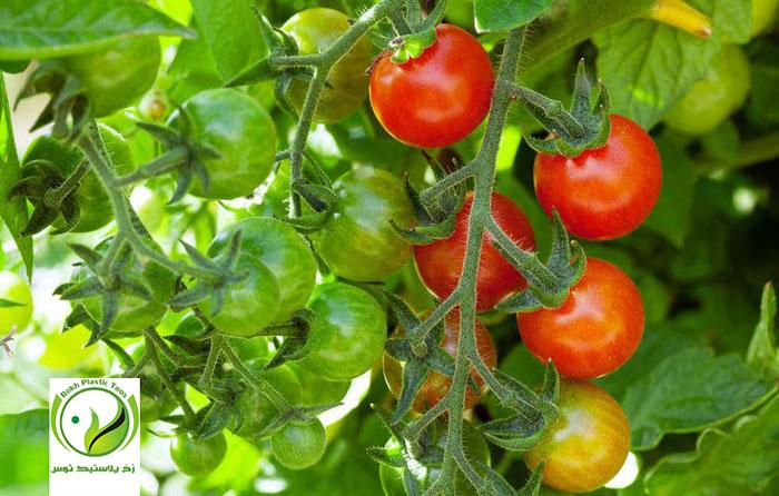 گوجه فرنگی گیلاسی چری cherry tomato