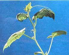 علایم کمبود کلسیم در برگ خیار