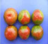 مسمومیت ازت در گوجه فرنگی گلخانه ای