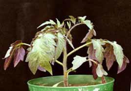 کمبود فسفر در گوجه فرنگی گلخانه ای