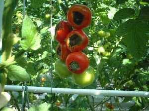 کمبود کلسیم در گوجه فرنگی گلخانه ای