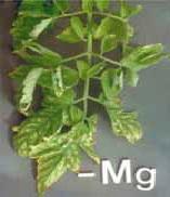 کمبود منیزیم در گوجه فرنگی گلخانه ای