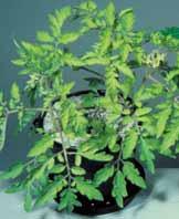 کمبود گوگرد در گوجه فرنگی گلخانه ای