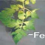 کمبود آهن در گوجه فرنگی گلخانه ای