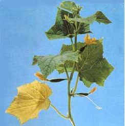 کمبود فسفر در خیار گلخانه ای