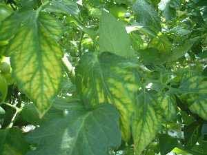 کمبود منگنز در گوجه فرنگی گلخانه ای گلخانه ای