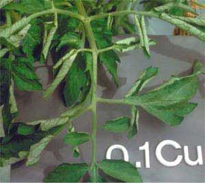 کمبود مس در گوجه فرنگی گلخانه ای