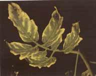 مسمومیت بور در گوجه فرنگی گلخانه ای