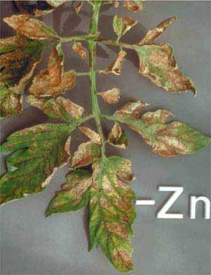 مسمومیت روی در گوجه فرنگی گلخانه ای