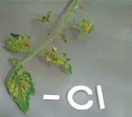 کمبود کلر در گوجه فرنگی گلخانه ای