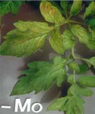 کمبود مولیبدن در گوجه فرنگی گلخانه ای