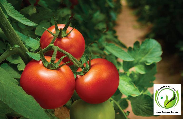 ناهنجاری ها بیماری ها کمبود عناصر گوجه فرنگی گلخانه ای