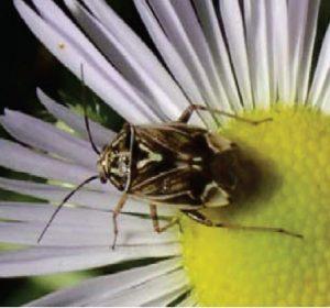 سن Lygus lineolaris - سن لیگوس
