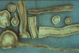 Verticillium albo-atrum پژمردگی ورتیسلیوم