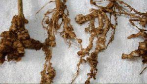 Meloidogyne sp نماتد های ریشه