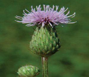 Cirsium arvense کنگر وحشی